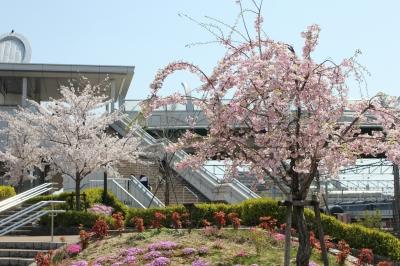 稲沢駅の桜